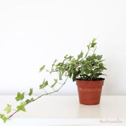 planta de hiedra variegata hedera helix