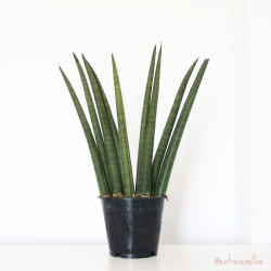 planta de sansevieria cylindrica ulimi