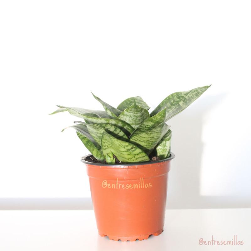 plantas de sansevieria trifasciata golden hahnii