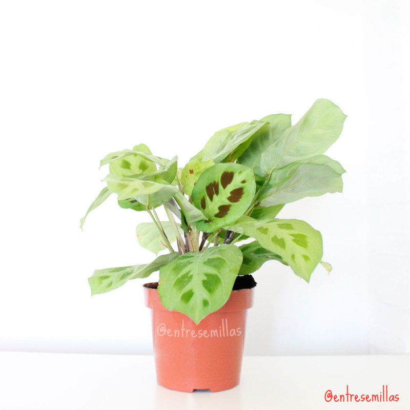 plantas de Maranta leuconeura Kerchoveana en maceta