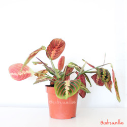 planta de maranta leuconeura fascinator