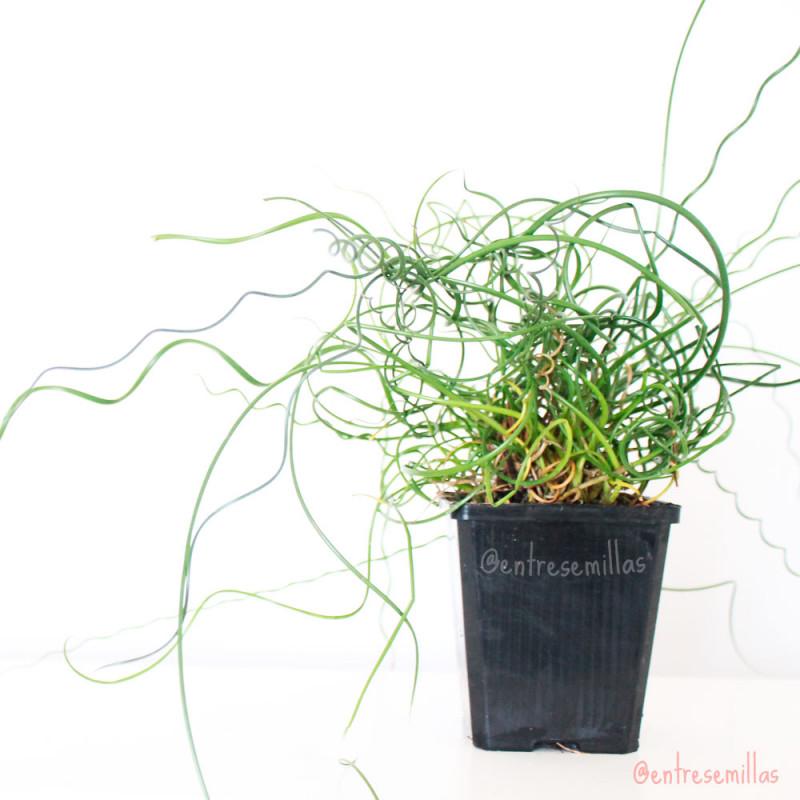 Juncus effusus Spiralis plantas