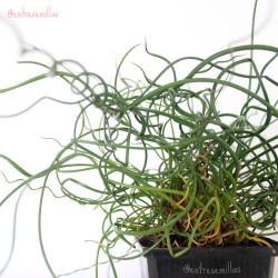 planta junto espiral