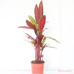 Calathea - 1 planta