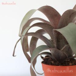 bromelia hojas grises
