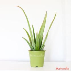 planta de aloe vera para comprar online