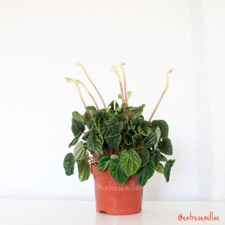planta de peperomia caperata online
