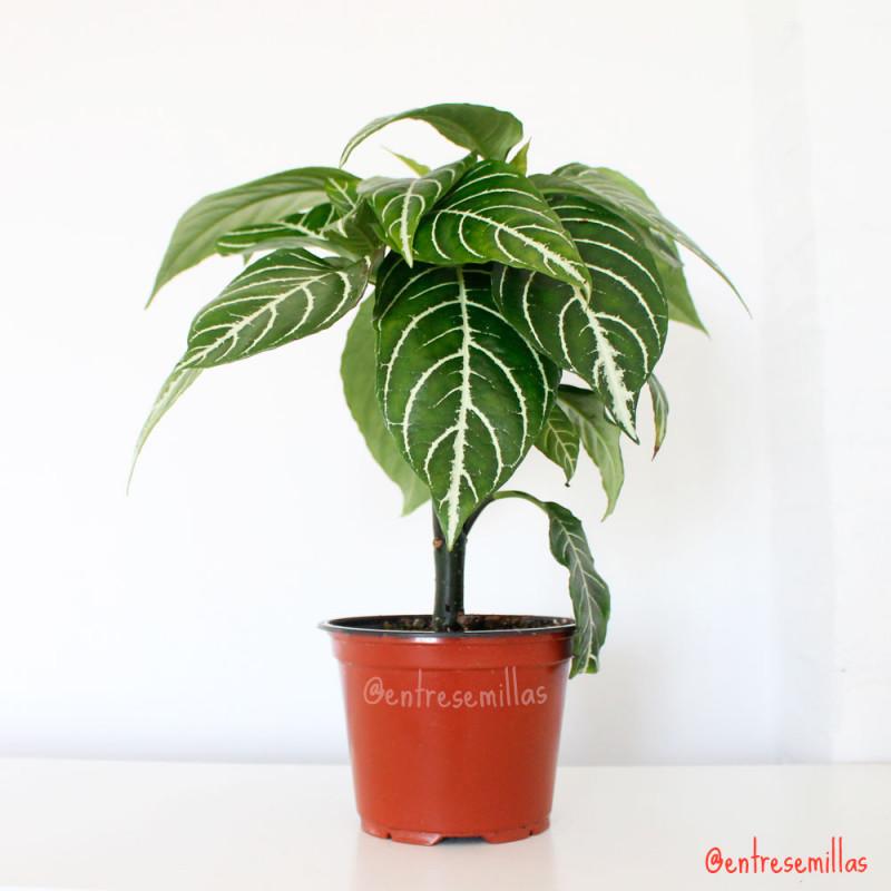 plantas de afelandra