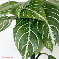 hojas de aphelandra squarrosa dania