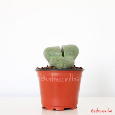 planta de Pleiospilos nelii