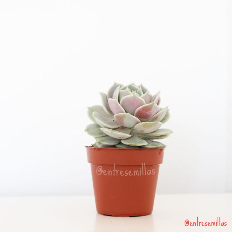 Echeveria Lola planta