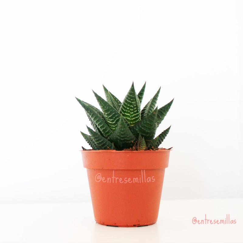 plantas de Haworthia enon