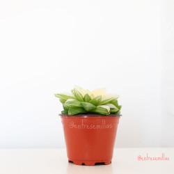 Haworthia cymbiformis Variegata planta