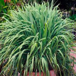 cymbopogon citratus planta