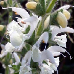 Salvia blanca argentea flores