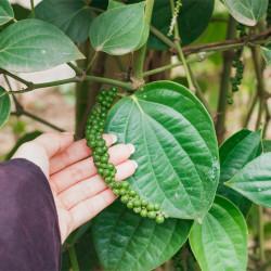 planta de pimienta negra