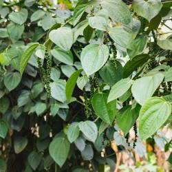 pimienta negra comprar planta