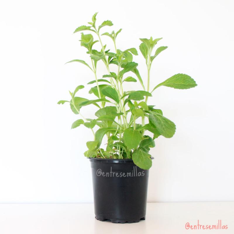 stevia planta