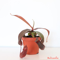 nepenthes roja planta