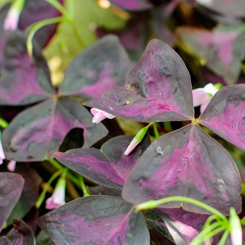 oxalis purpura