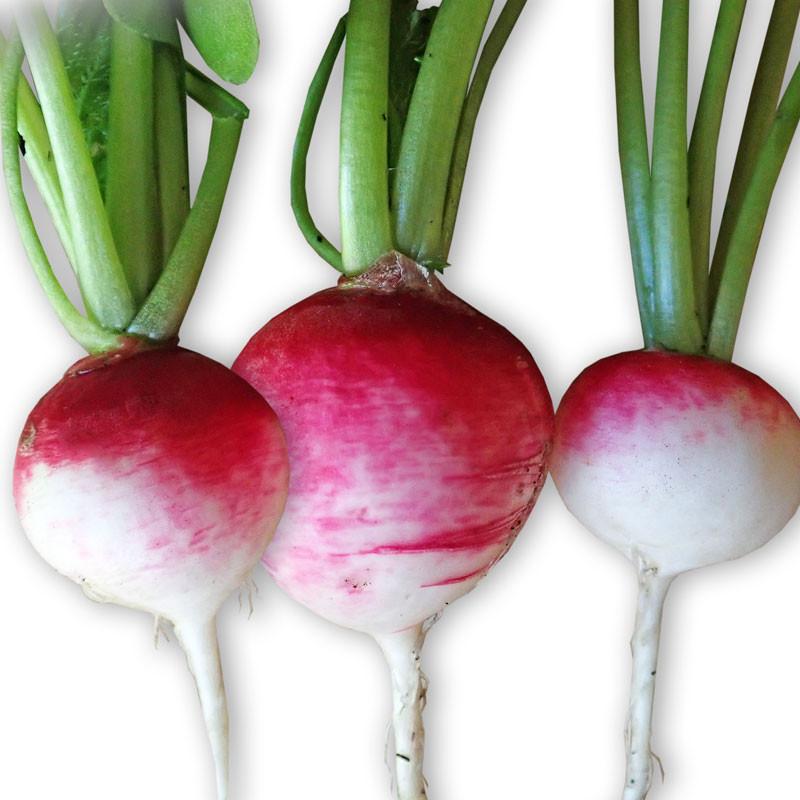 semillas de rabano redondo rojo punta blanca