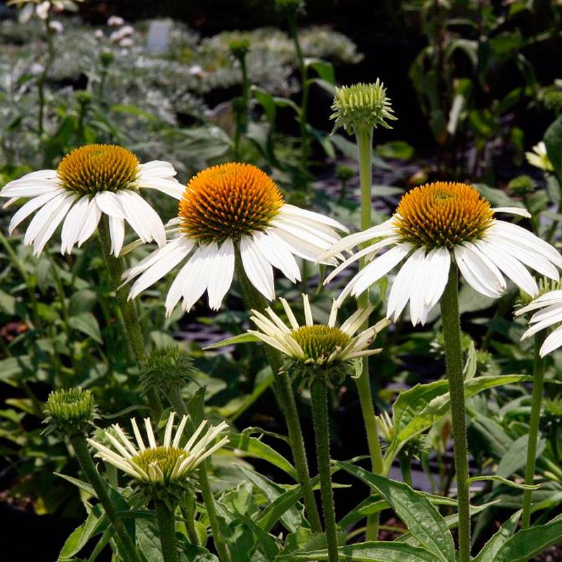 equinacea blanca semillas