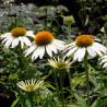 Equinácea purpurea Alba - Sobre 40 semillas
