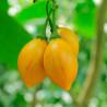 Tamarillo Amarillo - Sobre 10 semillas