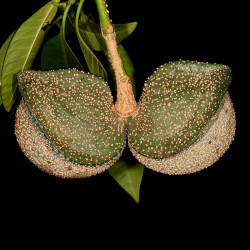 arbol sapo semillas