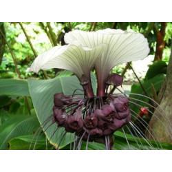 Tacca integrifolia