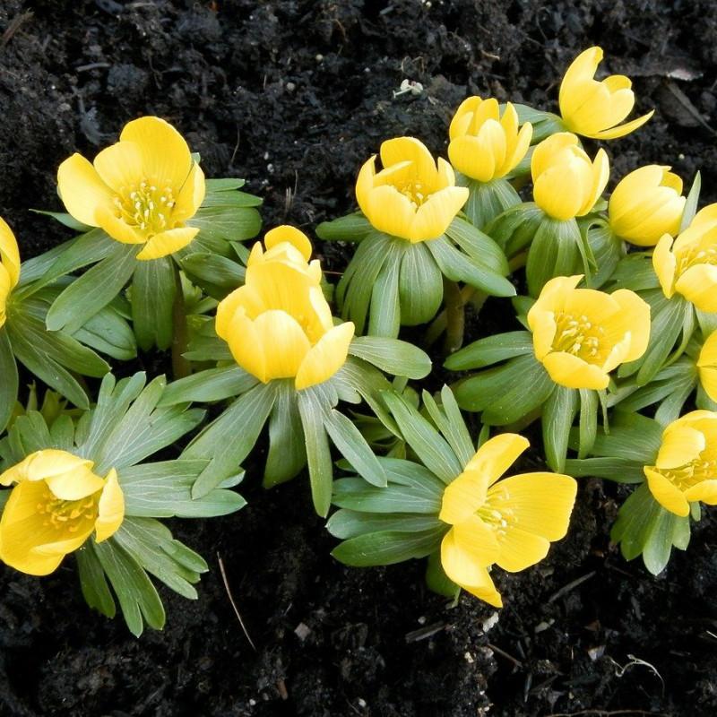 Eranthis hyemalis_Acónito de invierno - Sobre 15 semillas