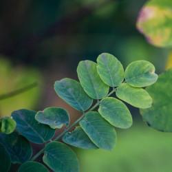 hojas algarrobo hojas algarroba semillas