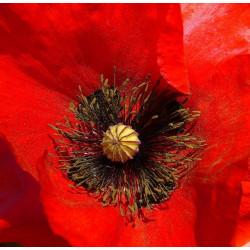 Papaver rhoeas amapola roja semillas