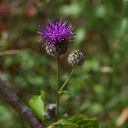 Cynara scolymus flor alcachofa semillas