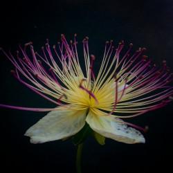 flor alcaparrera semillas alcaparra