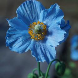 flor himalaya azul blue poppy