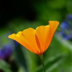 Eschscholzia californica flor semillas