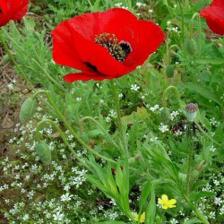 Amapola Roja semillas seeds poppy