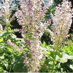 Salvia sclarea - Sobre 30 semillas