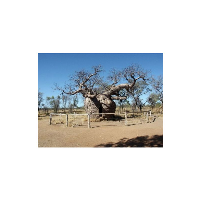 Baobab (Adansonia madagascariensis)