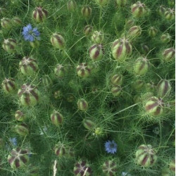 semillas arañuela