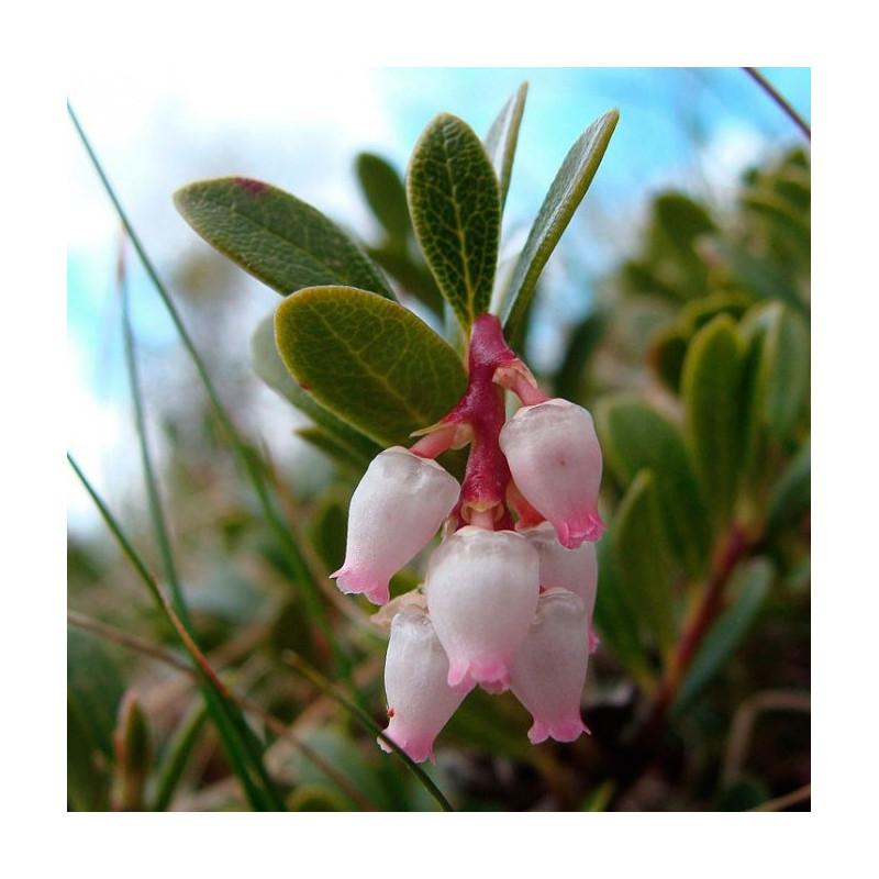 Uva de oso - Sobre 10 semillas flor