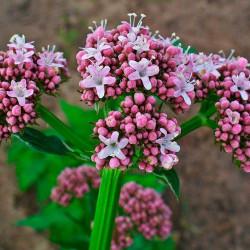 Valeriana - Sobre 100 semillas