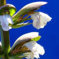 semillas de acanto