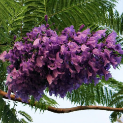 Jacaranda flores violetas