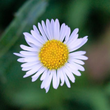 Bellis perennis semillas margarilla semillas bellis