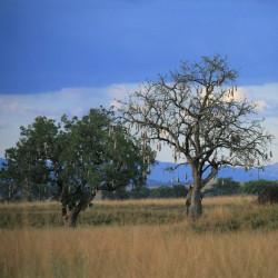 árbol de las salchichas arbol africano semillas kigelia