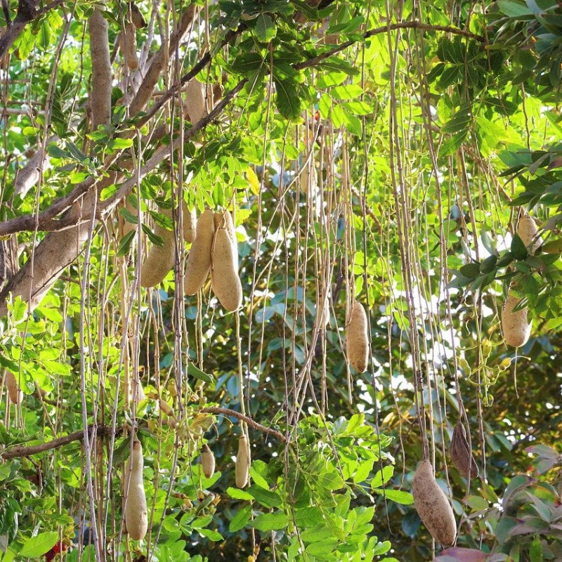 kigelia frutos semillas arbol de las salchichas