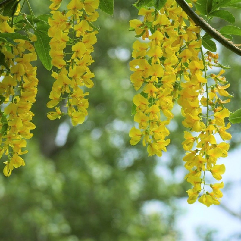 lluvia de oro semillas