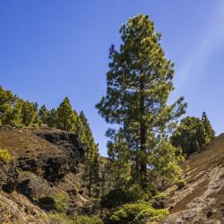 Pino canario pino de canarias semillas pino canario